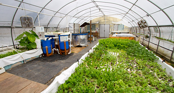 We practice a system of agriculture called aquaponics, in which we raise fish and plants together. The fish waste provides nutrients for plants to grow and hydroponic plant beds filter the water for the fish. Water continually recirculates between the fis