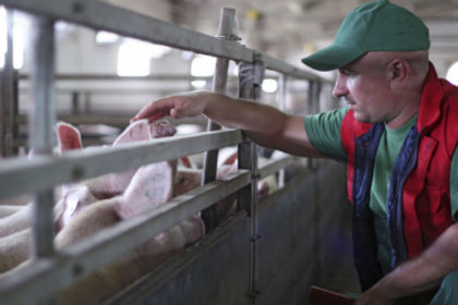 Hog Farm Workers Carry Drug-Resistant Bacteria for Days